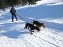 Skijöring se psím spřežením